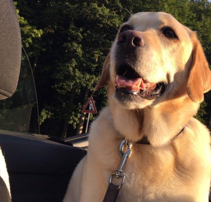 Перевозим собаку в автомобиле безопасно